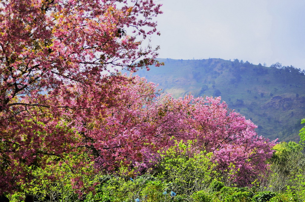 cherry blossoms, cherry blossoms in chiang mai, cherry blossoms bloom, khun wang, cherry blossoms khun wang