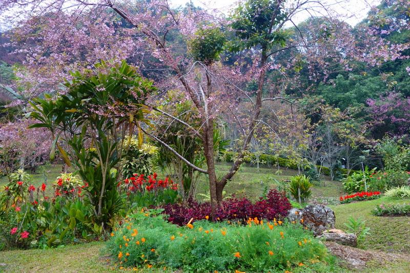 khun chang kian, khun chang kian cherry blossom, cherry blossom of Thailand, cherry blossom in chiang mai