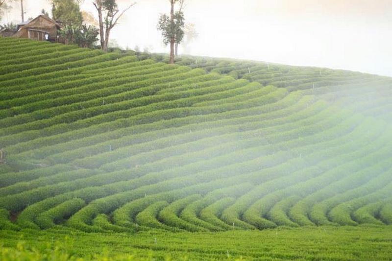 choui fong tea plantation, choui fong, choui fong tea